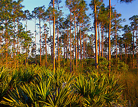 Everglades National Park, FL <br /> Forest hummock of slash pine (Pinus elliottii) and saw palmetto (Serenoa repens)