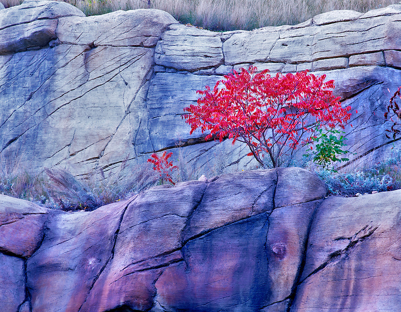 Fall colored sumac. Red Rock Secret Mountain Wilderness, Arizona