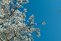 Yoshino Cherry (scientific name: Prunus yedoensis) blooming in Dallas Arboretum, Texas, USA, United States. The blossom of the white flowers emerges during the spring.