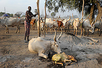 Afrika SUED-SUDAN  Bahr el Ghazal region , Lakes State, Dinka Hirten mit Zeburindern im cattle camp, Geburt eines Kalbes  | .Africa SOUTH SUDAN  Bahr al Ghazal region , Lakes State, Dinka shepherd with Zebu cow in cattle camp, birth of new calf