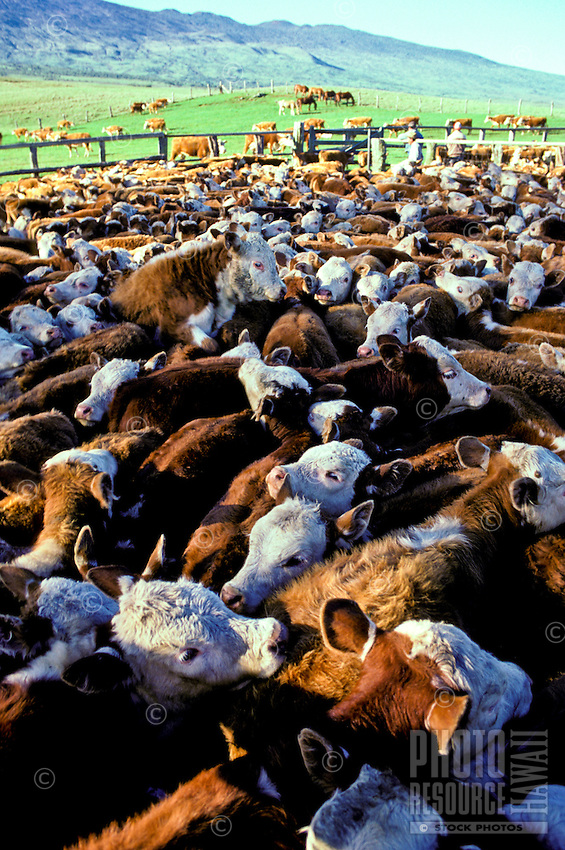 Cattle herd at Parker Ranch, Waimea
