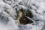 A weasel stands among brush in Idaho.