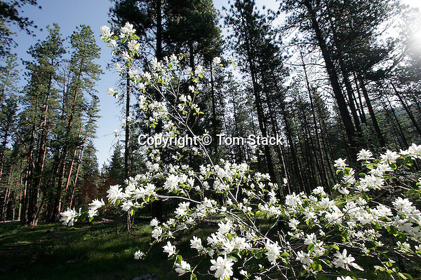 Service Berry Tree, Amelanchier arborea, Missoula, Montana