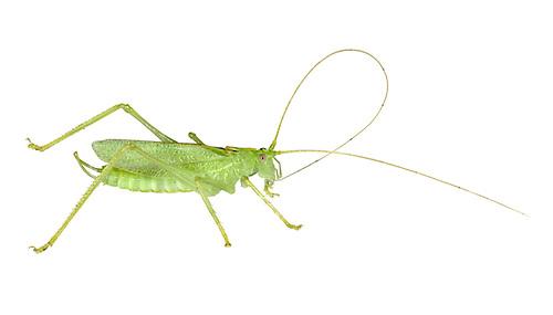 Oak Bush-cricket - Meconema thalassinum