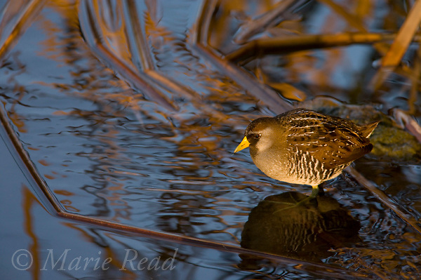 Sora (Porzana carolina) at the edge of a marsh in winter, Newport Bay, California, USA