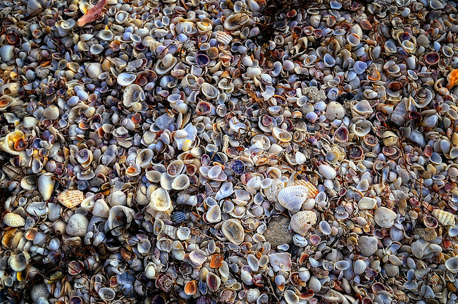 Colorful shells on Nokomis Beach in Casey Key, FL