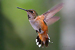 HUMMINGBIRD; rufous