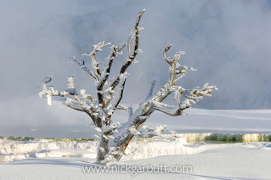 Frost on dead tree. Mommoth Hot Springs, Yellowstone National Park, Wyoming, USA.