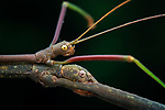 Pictured:  Stick insects.<br /> <br /> A series of spellbinding close-up images of insects make them look like aliens.  Amateur photographer Marcus Kam Seong Sit captured the macro shots of a range of bugs including the longhorn beetle and bird dung spider. <br /> <br /> The pictures detail the intricate features and patterns of the insects - from the vibrant green of a dragon head caterpillar to the delicate hairs on an orb web spider.  SEE OUR COPY FOR DETAILS.<br /> <br /> Please byline: Marcus Kam/Solent News<br /> <br /> © Marcus Kam/Solent News & Photo Agency<br /> UK +44 (0) 2380 458800