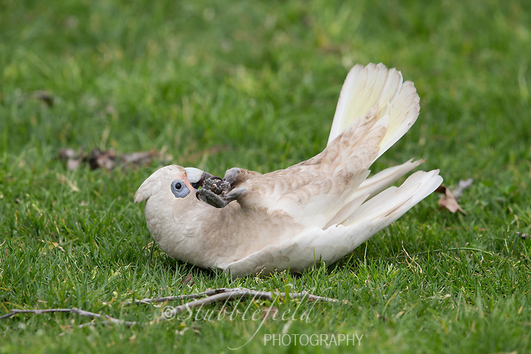 Little Corella (Cacatua sanguinea gymnopis), playing with a stick in Rymill Park in Adelaide, Australia.