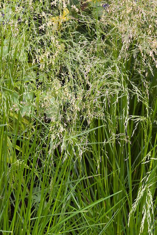 Ornamental grass Deschampsia cespitosa 'Pixie Fountain' - Dwarf Tufted Hair Grass in flower