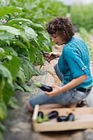 Europe/France/Aquitaine/47/Lot-et-Garonne/Fongrave: Elodie Chauvel, agricultrive en agriculture raisonnée à la Ferme des Tuileries récolte ses aubergines  Auto N: A12-3008