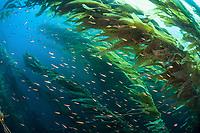 A school of Senorita wrasse, Oxyjulis californica, swims through a kelp forest  near Santa Barbara Island of the Santa Barbara Island, Channel Islands National Park, California, USA, Pacific Ocean