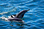 Dolphins in the Sea of Cortez, Baja, Mexico, Gulf of California