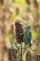 Kantige Sattelschrecke, Weibchen, Uromenus rugosicollis, Ephippiger rugosicollis, Rough backed bush cricket, Rough backed bush-cricket, female, Tettigoniidae