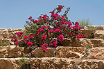 Bougainvillea plants in bloom at Qasr el Yehud by the River Jordan in the Occupied Territory of the West Bank of the State of Palestine.