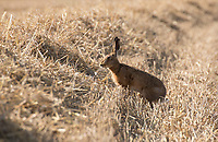 Brown Hare in stubble field <br /> Picture Tim Scrivener 07850 303986<br /> &hellip;.covering agriculture in the UK&hellip;.