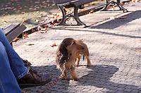 A little friendly wire-haired dachshund, enjoying the early spring sun in the park, while the owner is sitting on a Bench, reading the news paper.