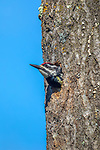 Female yellow-bellied sapsucker leaving the nest cavity in northern Wisconsin.