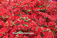 65021-03611 Red Azalea (Rhododendron sp')  MO Botanical Gardens, St Louis, MO