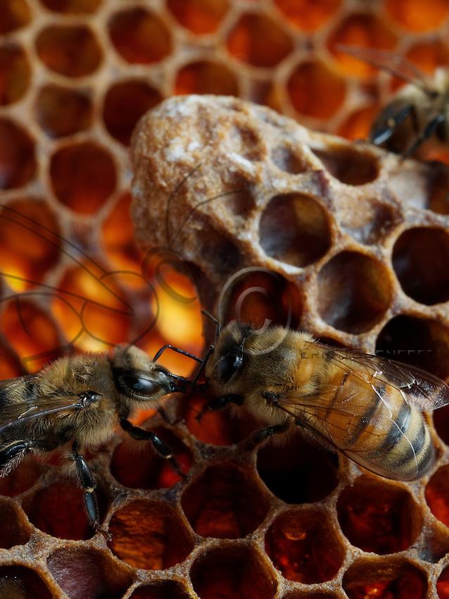 Wonderful Trophallaxis betwen honeybees on comb