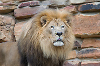 Lion, Fort Worth Zoo