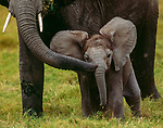 African elephant and calf, Amboseli National Park, Kenya