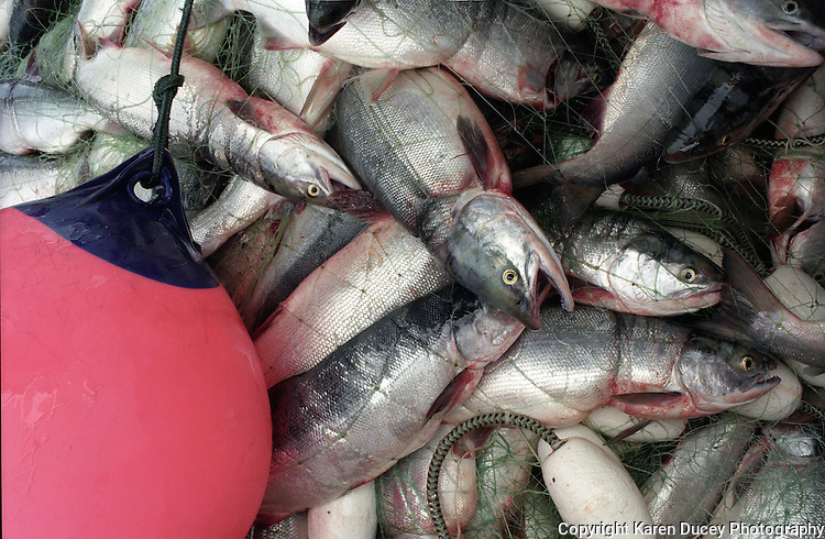 Sockeye salmon lie caught in a gillnet piled on a fishing boat in Bristol Bay, Alaska.