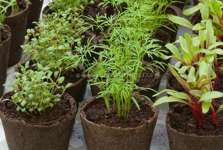 Seedlings: Thymus vulgaris, Dill, Chard in peat pots, starting seeds