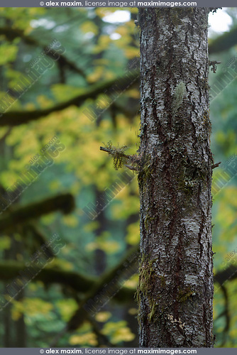 Beautiful abstract fall nature scenery details Fir tree trunk and autumn foliage in the background. Vancouver Island, British Columbia, Canada. Image © MaximImages, License at https://www.maximimages.com