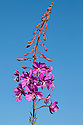 Rosebay Willowherb {Epilobium angustifolium} Gran Paradiso National Park, Aosta Valley, Pennine Alps, Italy. July.