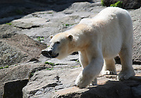Stock image of Polar bear in zoo Berlin.<br /> <br /> (For Editorial use only)