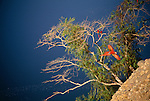 Scarlet macaws, green-winged macaws & blue-headed parrots, Tambopata River region, Peru