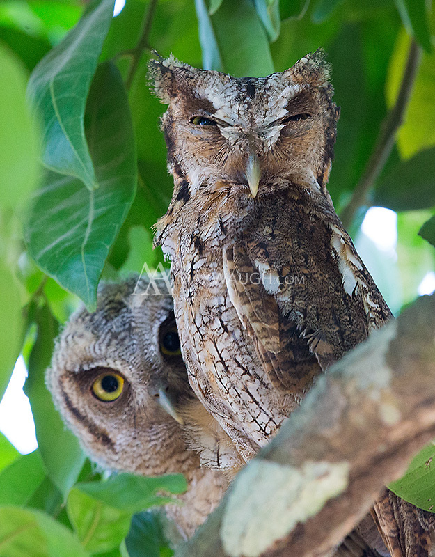 This was my first time seeing a Tropical screech owl.  An owlet peeks out from behind its parent.