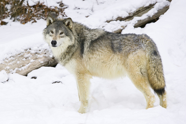 Grey Wolf standing in a snowy clearing - CA