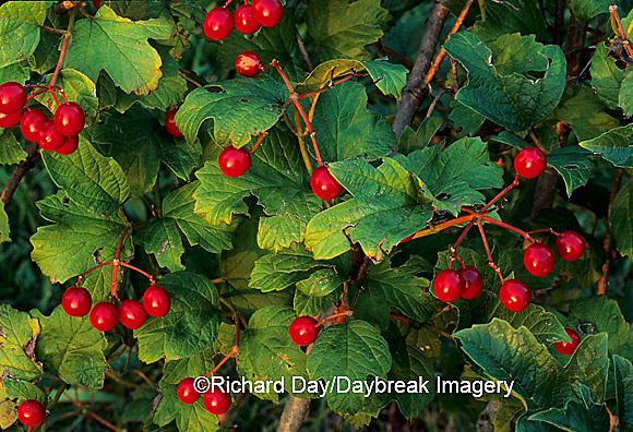 """63808-01305 American Cranberrybush Viburnum (Viburnum trilobum) """"Wentworth""""   berries   IL"""