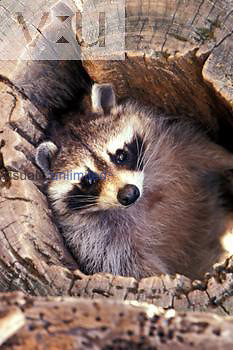 Raccoon resting in hollow log. ,Procyon lotor,