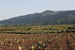 Cactus agriculture in the Salinas Valley