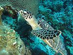Blue Corner, Palau -- Sea turtle swimming over coral.