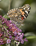 Painted Lady Butterfly.Vanessa cardui.October 26, 2008. Fitzroy Barrett
