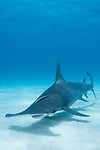 Tiger Beach, Grand Bahama Island, Bahamas; a large, great hammerhead shark swimming over the sandy bottom at Tiger Beach