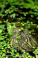 1R05-118z  Snapping Turtle - young swimming in pond with duckweed, breathing at surface - Chelydra serpentina