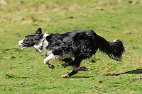 Sheepdog running....Copyright..John Eveson, Dinkling Green Farm, Whitewell, Clitheroe, Lancashire. BB7 3BN.01995 61280. 07973 482705.j.r.eveson@btinternet.com.www.johneveson.com