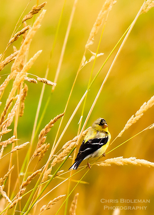 American Goldfinch in tall grass of Ridgefield National Wildlife Refuge
