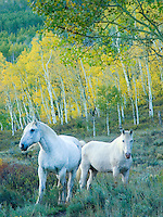 A pair of white horses in the forest at dusk evoke images of a mythic world