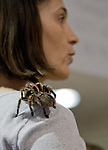 A chaco golden knee tarantula sits on the shoulder of Kristen Brians at the Reno Repticon event held on Sunday afternoon, February 10, 2013 at the Reno Livestock Events Center in Reno, Nevada.