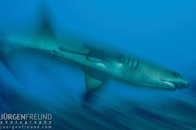 Whitetip reef shark (Triaenodon obesus).