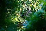 Black Howler Monkey (Alouatta caraya)  female, Ibera Provincial Reserve, Ibera Wetlands, Argentina