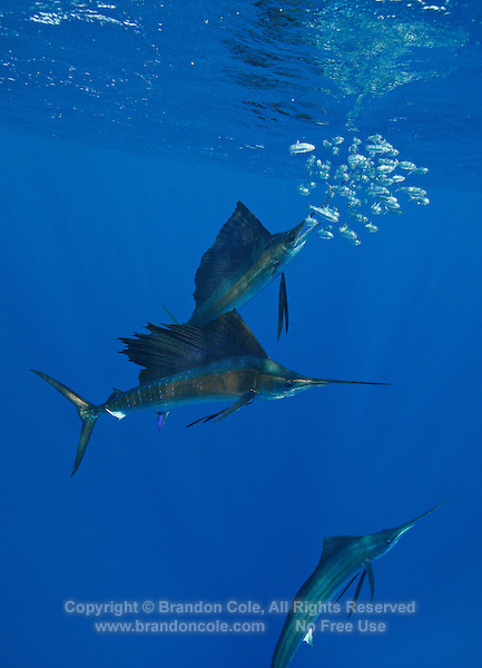 qh1011-Dv. Atlantic Sailfish (Istiophorus albicans) feeding on sardines. Some consider this the same species as the Indo-Pacific Sailfish (I. platypterus). Mexico, Gulf of Mexico..Photo Copyright © Brandon Cole. All rights reserved worldwide.  www.brandoncole.com..This photo is NOT free. It is NOT in the public domain. This photo is a Copyrighted Work, registered with the US Copyright Office. .Rights to reproduction of photograph granted only upon payment in full of agreed upon licensing fee. Any use of this photo prior to such payment is an infringement of copyright and punishable by fines up to  $150,000 USD...Brandon Cole.MARINE PHOTOGRAPHY.http://www.brandoncole.com.email: brandoncole@msn.com.4917 N. Boeing Rd..Spokane Valley, WA  99206  USA.tel: 509-535-3489