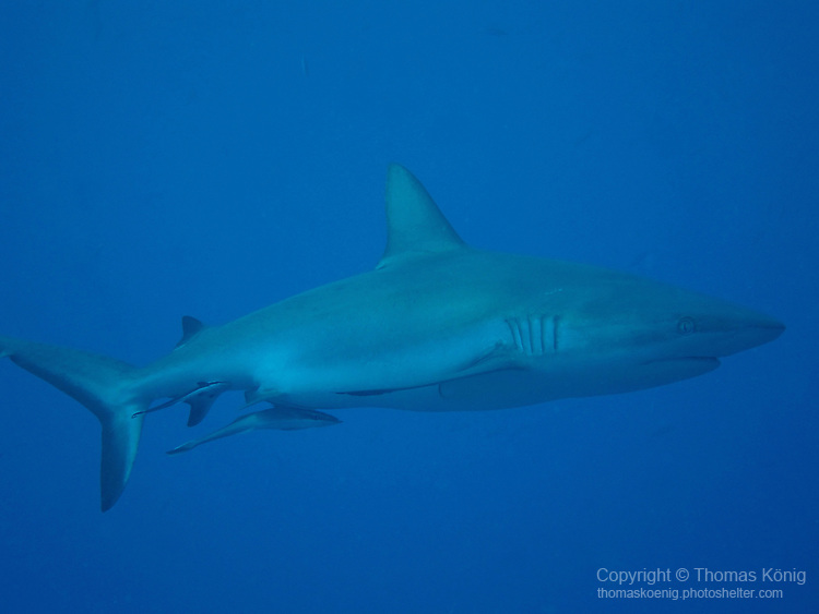 Ulong Channel, Palau -- Gray reef shark with two Remoras attached.